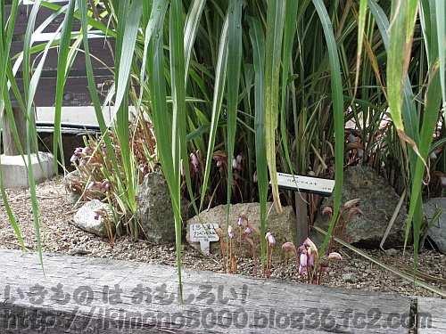 ススキの株元で咲いている「秋の七草通り」のナンバンギセル