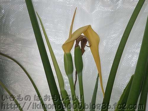 数日後に咲いたタルサトイモ2012の二つ目の花