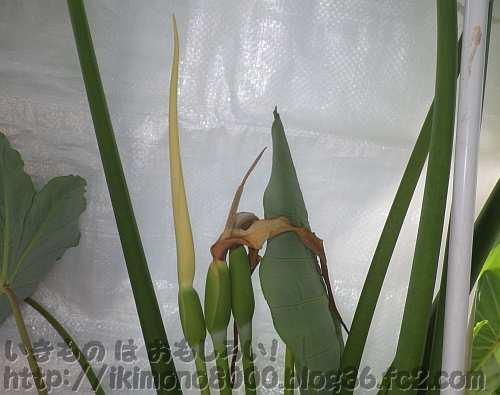 3つ並んだタルサトイモ2012の花
