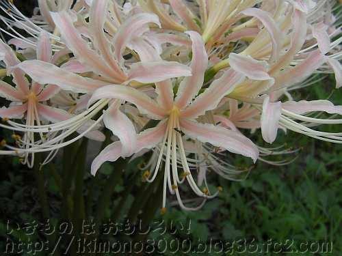 よくみるとわずかにピンク色のヒガンバナ(白花)