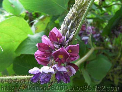 フジの花をひっくり返したようなクズの花(金剛山黒栂谷)
