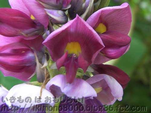 マメ科らしいクズの花(金剛山黒栂谷)