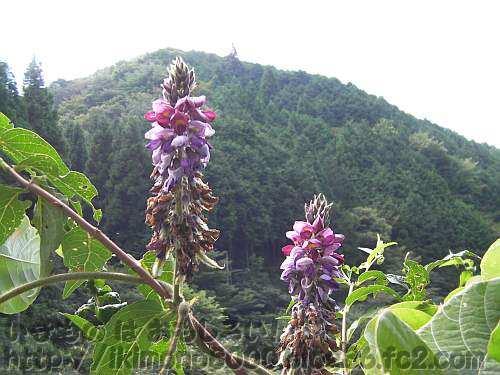 山を背にしたクズの花(金剛山黒栂谷)