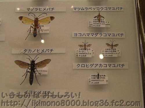 イモムシに寄生するヒメバチやマユコバチの標本「のぞいてみようハチの世界〈自然史博物館〉」