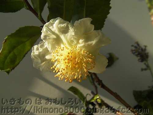 今年も咲いた鉢植えのお茶の花