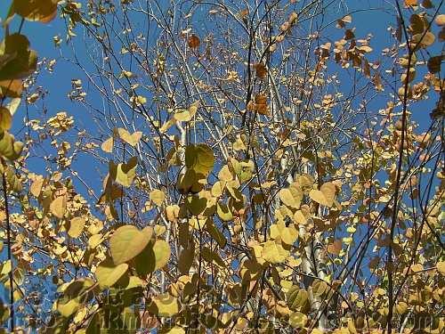 黄葉し落葉しはじめている近所のカツラ