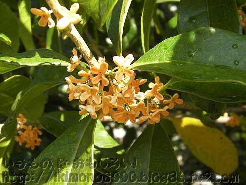 今年も咲きはじめた金木犀の花