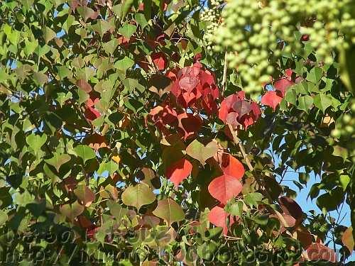 紅葉を始めたナンキンハゼ