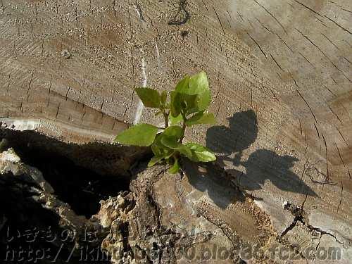 新芽を出して再起を図る落雷ポプラ