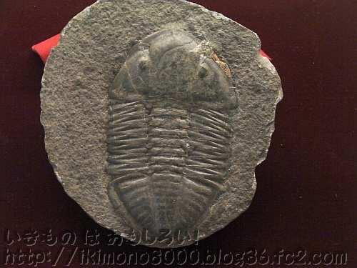 カンブリア紀の次のオルドビス紀のホエカスピス(三葉虫・古生代オルドビス紀)の化石[大化石展・2011年]