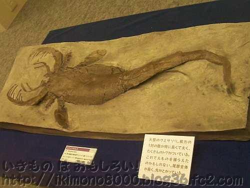 2mはないけど結構大きなミクソプテルス(ウミサソリ・古生代シルル紀)の化石[OCEAN! 海はモンスターでいっぱい・2011年]
