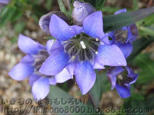 青色が綺麗なリンドウ(竜胆)〈ふるさとの花園〉