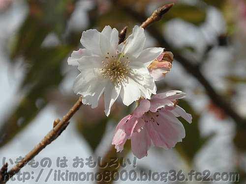 もう咲いているジュウガツザクラ八重(十月桜八重〉〈クレマチスガーデン〉