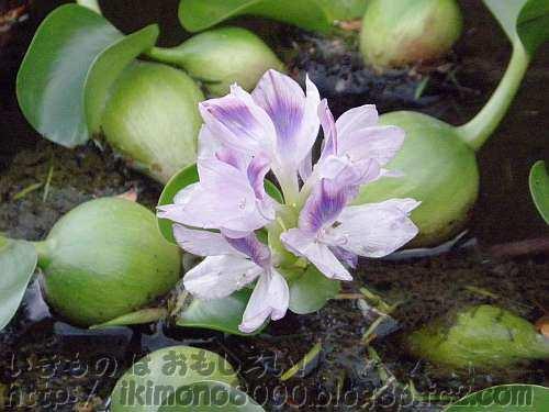 花がきれいなホテイアオイ(布袋葵)〈ゲートから展望デッキへの階段〉