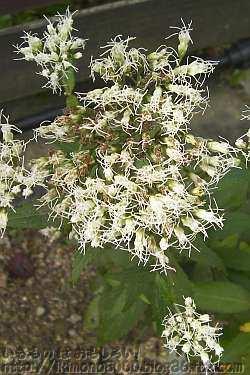 小さい花のフジバカマ(藤袴)