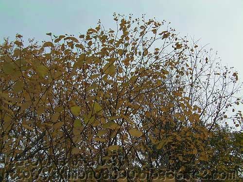 黄色く黄葉しているカツラ(桂)〈香りの丘〉