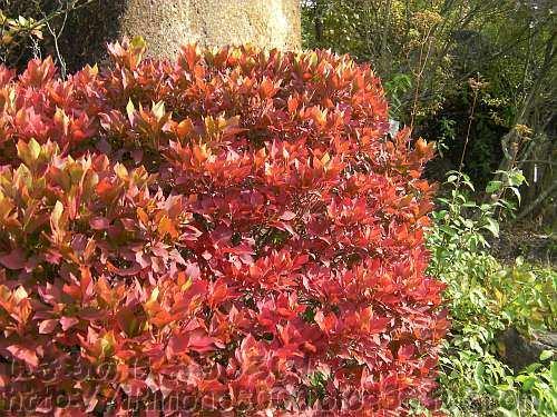 真っ赤なドウダンツツジ(灯台躑躅・満天星)〈野草園〉