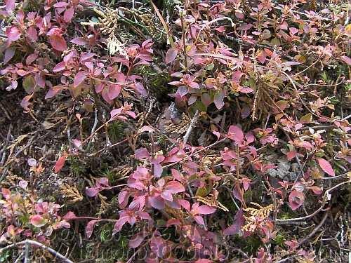 まるで森林限界を超えた木のように地面に張り付く紅葉