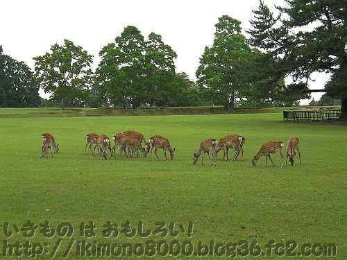 奈良公園の飛火野の芝の上のシカたち