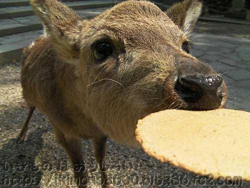 鹿せんべいにかぶりつく奈良公園のシカ