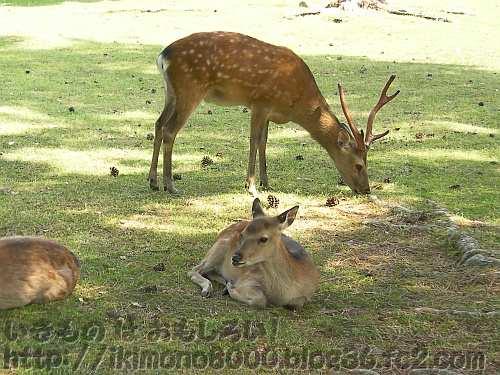 奈良公園の牡鹿と牝鹿