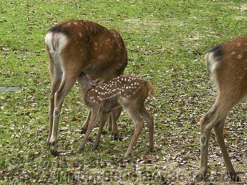 奈良公園の母子のシカ