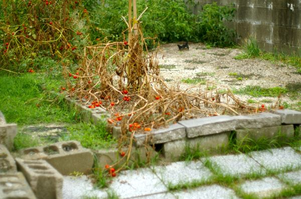 tomato1208.jpg