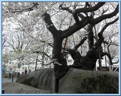 石割桜ー裏