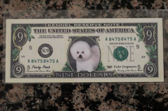 Bichon Dollar 1