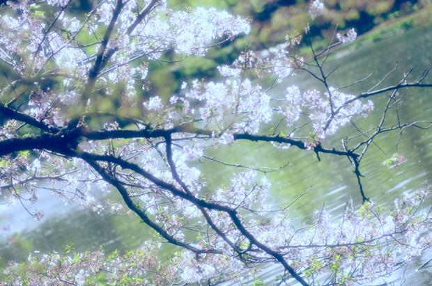 池と桜~♪