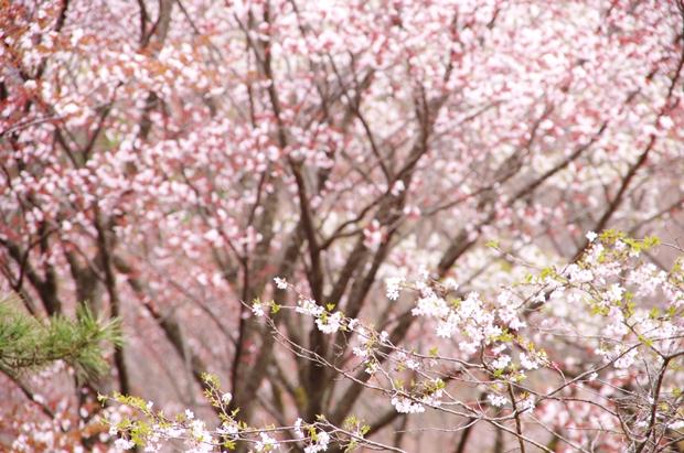 桜がまだまだ見頃でしたん♪