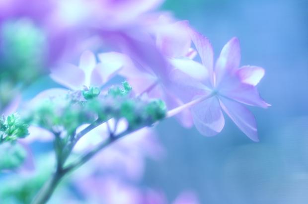 ゆう子さん、紫陽花ありがとうございます。本当はピンクでかわいいですぅ♪