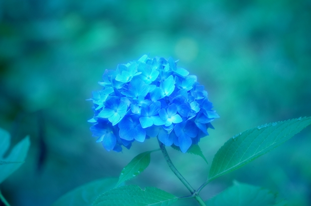 紫陽花~ばかりの日々~♪