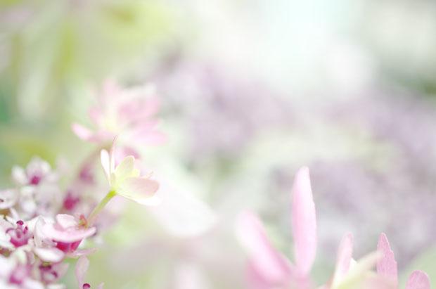 この紫陽花の鉢植えでどんだけ写真撮ったか(笑)