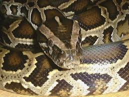 ビルマニシキヘビ