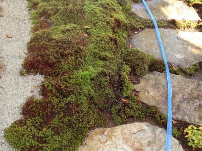 苔の水遣り