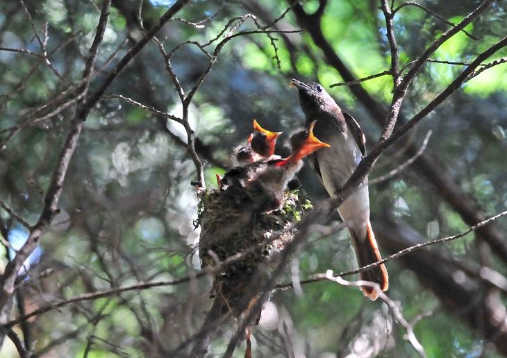 サンコウチョウの巣メス