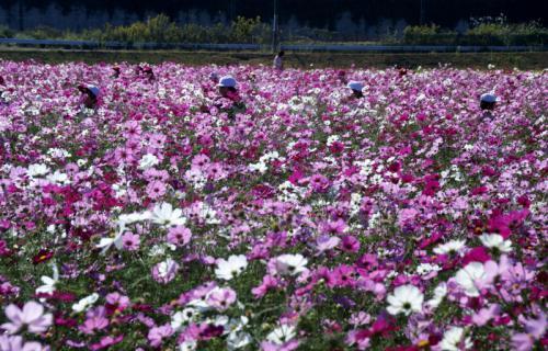 2006-05-27 24年度飯野コスモス畑年長 040 (800x512)