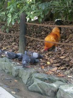 熱田神宮 神鶏