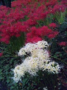 赤と白 彼岸花