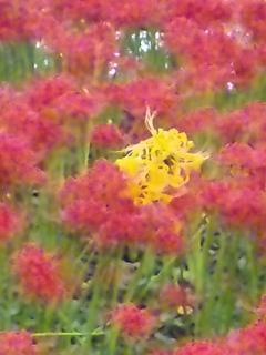 オレンジ色の彼岸花