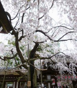 平野神社、魁桜