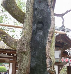 平野神社、魁桜アップ