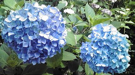 紫陽花12