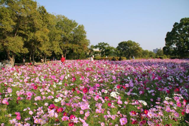 武庫川河川敷のコスモス畑