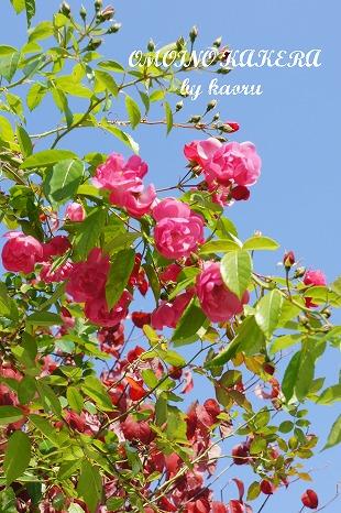アンジェラと花水木