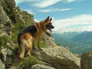 Berger_allemand_en_montagne