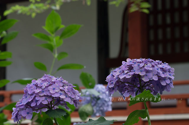 2012年 奈良・久米寺 アジサイ3