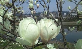 双子のお花