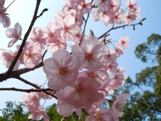 DSCN6290河津桜